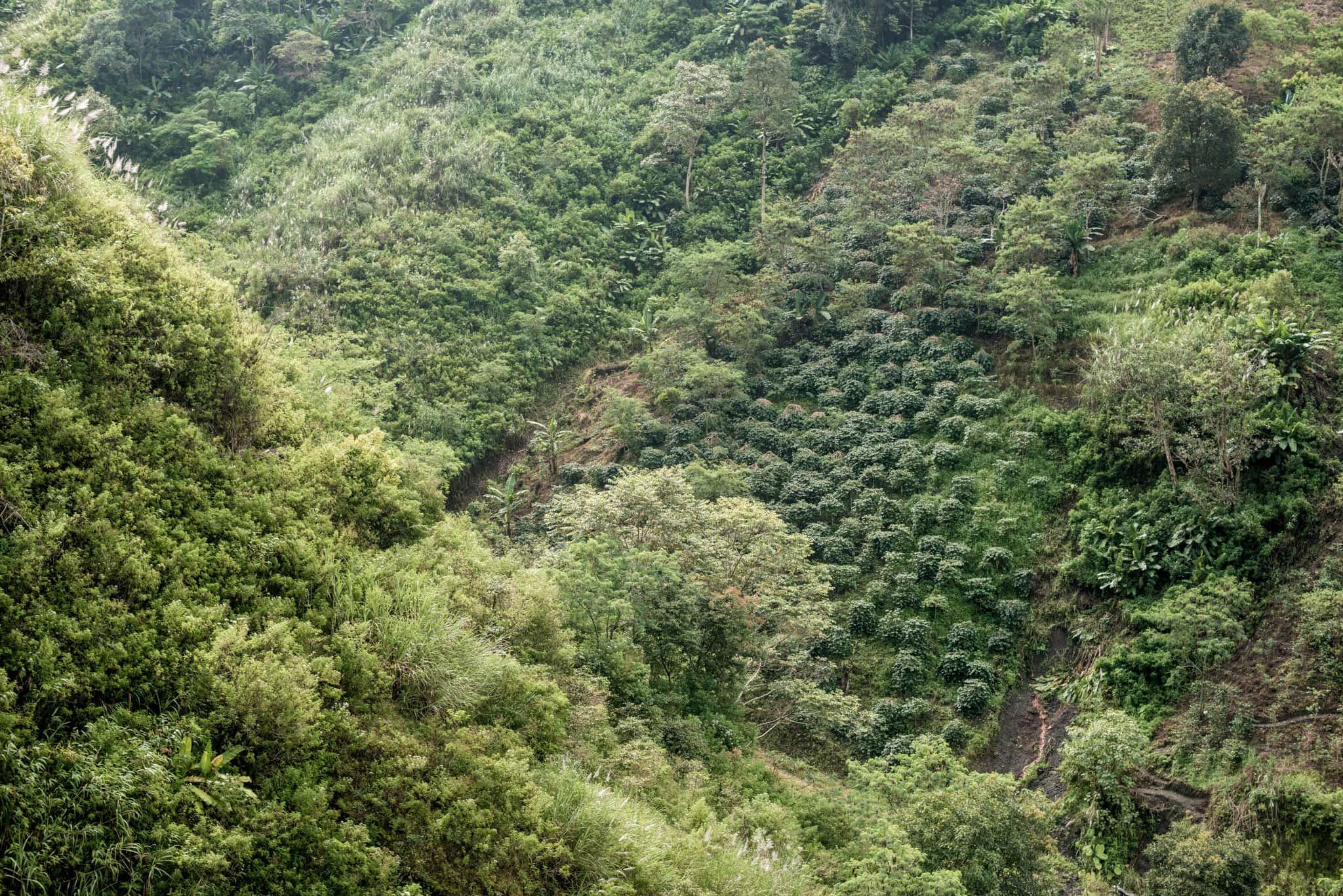 Orang-Utan-Coffee-Regenwald